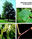 Linden, American (or Basswood) - Tall Stock 5' to 6' (bundle of 5 trees)