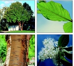 Chokecherry, Amur - Tall Stock 2' to 3' (bundle of 5 trees)