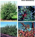 Buffaloberry - Tall Stock 3' to 4' (bundle of 5)