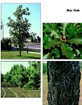 Oak, Bur - Tall Stock 3' to 4' (bundle of 5 trees)