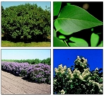 Lilac, Common - Tall Stock 3' to 4' (bundle of 5)