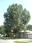 Cottonwood, Siouxland - Tall Stock 5' to 6' (bundle of 5 trees)