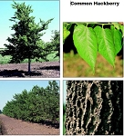 Hackberry - Tall Stock 3' to 4' (bundle of 5)
