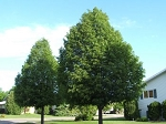 Linden, Littleleaf (bundle of 5 trees)