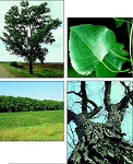 Cottonwood, Native - Tall Stock 5' to 6' (bundle of 5 trees)
