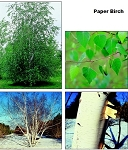 Birch, Paper (bundle of 25 trees) : Bulk Rate