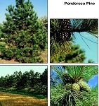 Pine, Ponderosa (bundle of 25)