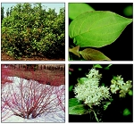 Dogwood, Redosier (bundle of 25)