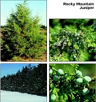 Juniper, Rocky Mountain (bundle of 25)