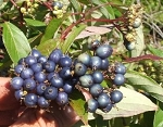 Dogwood, Indigo Silky (bundle of 5)