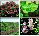 Lilac, Late or Villosa - Tall 2' to 3' (bundle of 5)