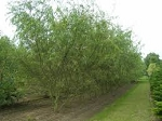 Willow, Sharpleaf (bundle of 25 trees)