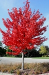 Maple, Freeman -Tall (4' to 5') (bundle of 5 trees)
