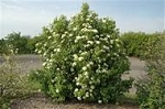 Nannyberry (bundle of 5 trees)